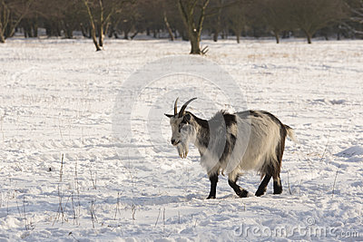 Goat in the snow