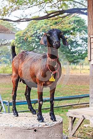 Goat standing in the farm