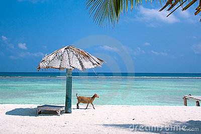 Goat on the tropical  beach