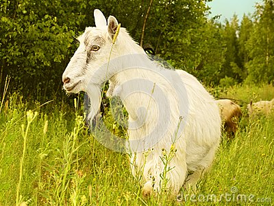 Goat White Farm Animal