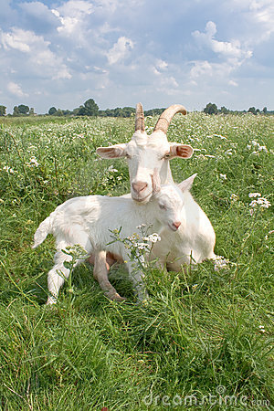 Free Goat With A Newborn Kid. Stock Photography - 20644642