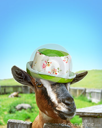 Free Goat With Girly Hat Stock Photography - 78318942