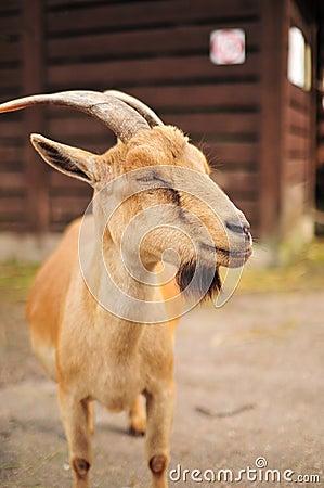 Goat in zoo