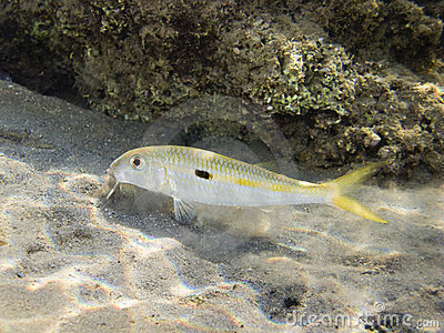 Goatfish in red sea