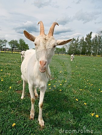 Free Goats Stock Photos - 13521793