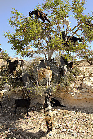 Free Goats Royalty Free Stock Photo - 2017955