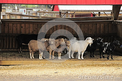 Goats in barn