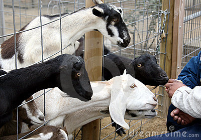 Goats Being Fed