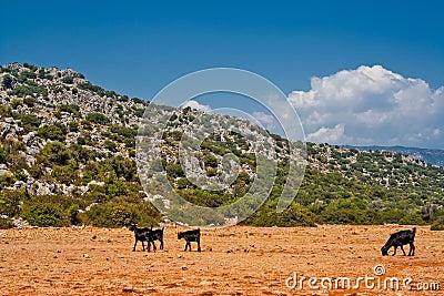 Goats in desert
