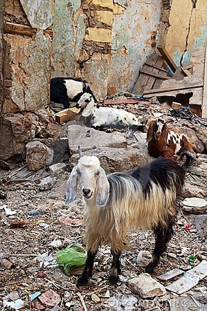 Goats eating anything