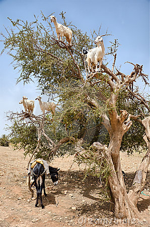 Free Goats Eating Argan Fruits, Essaouira Morocco Stock Images - 21637714