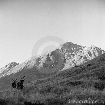 Free Goats In Mountain Stock Photos - 5245403