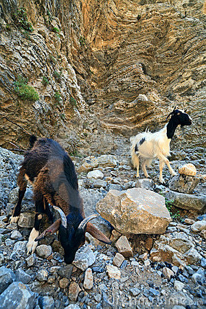 Free Goats In The Cleft Of Imbros, Crete Stock Image - 12484021