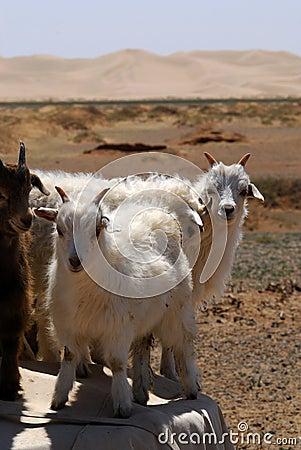 Free Goats In The Gobi Desert, Mongolia Stock Photo - 5490690