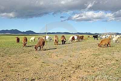 Goats in Mongolia
