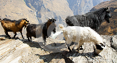 Goats on Mountain Path