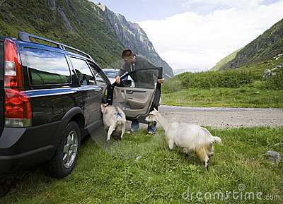 Goats of Norway and car.