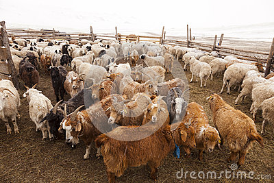 Goats in a pen in a small farm in Mongolia