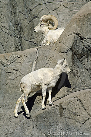 Goats on rocks