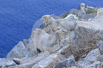 Goats on rocky coastline