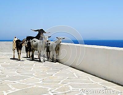 Goats on seaside patio