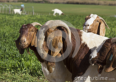 Goats standing in a green field