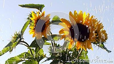 Gocce d'acqua nei corsi d'acqua sullo sfondo dei fiori di girasole archivi video