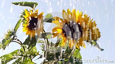Gocce d'acqua nei corsi d'acqua sullo sfondo dei fiori di girasole video d archivio