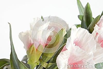 Godetia Clarkia flowers