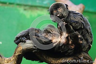 Goeldi marmoset