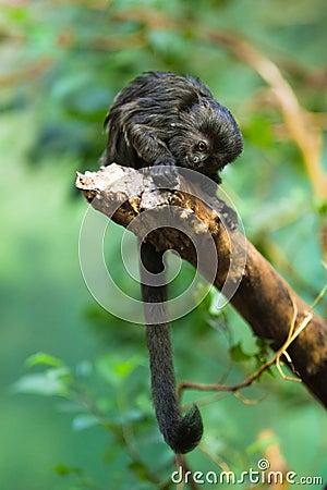 Goeldi s monkey