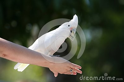 Goffin s Cockatoo with dollar bill