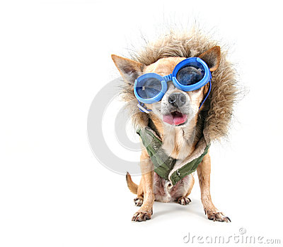 Goggle chihuahua