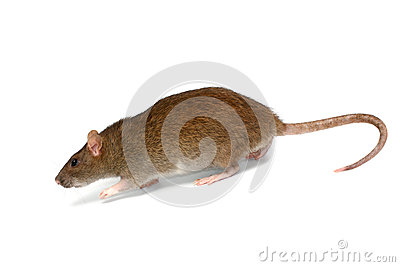 Going rat
