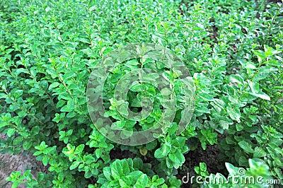 goji berry plants