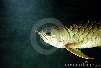 Gold Arowana underwater