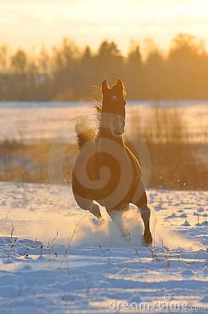 Free Gold Bay Horse In Winter Stock Photography - 12960612