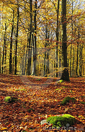 Gold beech forest