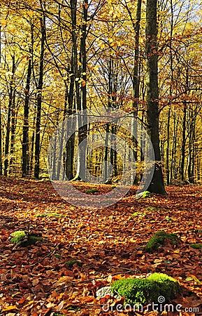 Gold beech forest