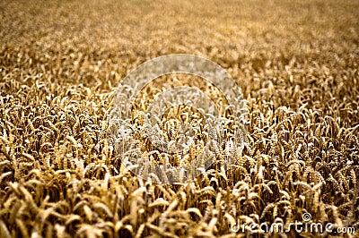 Gold Corn Field