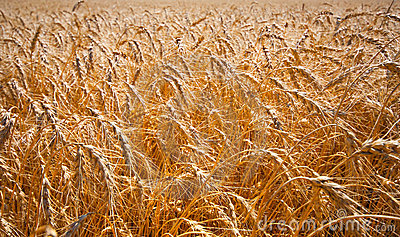 Gold field of ripe wheat Stock Photo