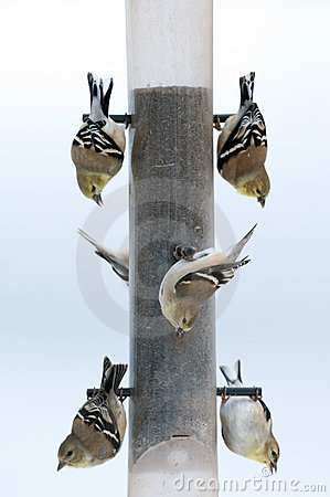 Free Gold Finches At A Feeder Royalty Free Stock Photo - 7991785