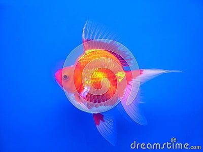 Gold fish#1