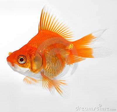 Free Gold Fish Stock Photography - 2447942