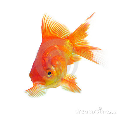 Free Gold Fish Stock Photo - 9145810