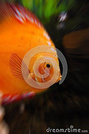 Free Gold Fish In Aquarium Royalty Free Stock Photo - 14342975