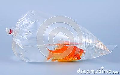 Gold fish in plastic bag