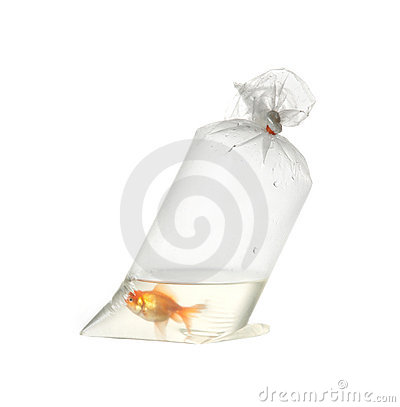 Gold fish in plastic package