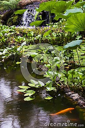 Free Gold Fish Pond At The Hawaii Tropical Botanical Garden, Royalty Free Stock Image - 50579886