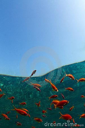 Gold fish in the Red Sea